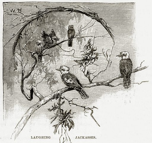 Laughing Jackasses. Illustration from Cassell's Picturesque Australasia by EE Morris (c 1889).