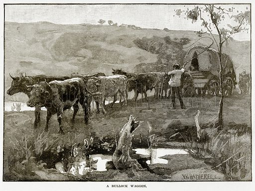 A Bullock Waggon. Illustration from Cassell's Picturesque Australasia by EE Morris (c 1889).