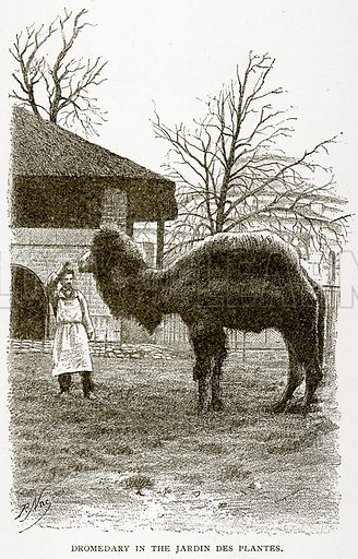 Dromedary in the Jardin des Plantes. Illustration from Old and New Paris by H Sutherland Edwards (Cassell, 1893).