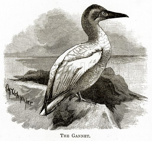 The Gannet. Illustration from Irish Pictures by Richard Lovett (Religious Tract Society, 1888).