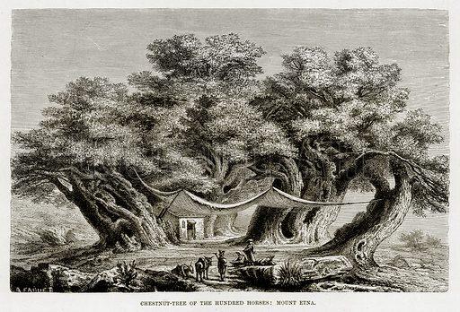 Chestnut-Tree of the Hundred Horses: Mount Etna. Illustration from The Mediterranean Illustrated (T Nelson, 1880).
