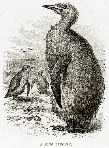 A King Penguin. Illustration from Sea Pictures by James Macaulay (Religious Tract Society, c 1880).