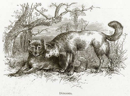 Dingoes. Illustration from Australian Pictures by Howard Willoughby (Religious Tract Society, c 1886).