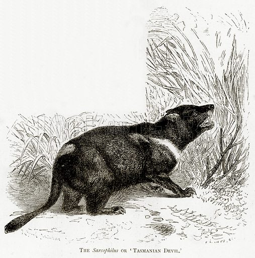 The Sarcophilus or 'Tasmanian Devil'. Illustration from Australian Pictures by Howard Willoughby (Religious Tract Society, c 1886).