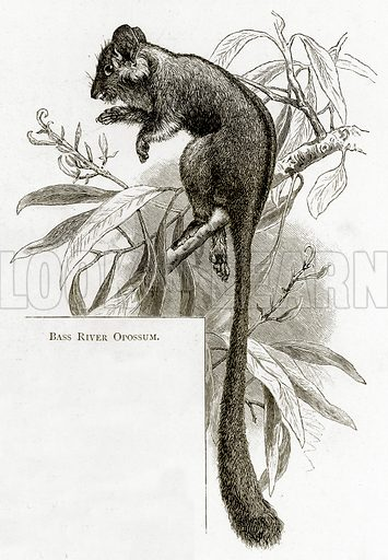 Bass River Opossum. Illustration from Australian Pictures by Howard Willoughby (Religious Tract Society, c 1886).
