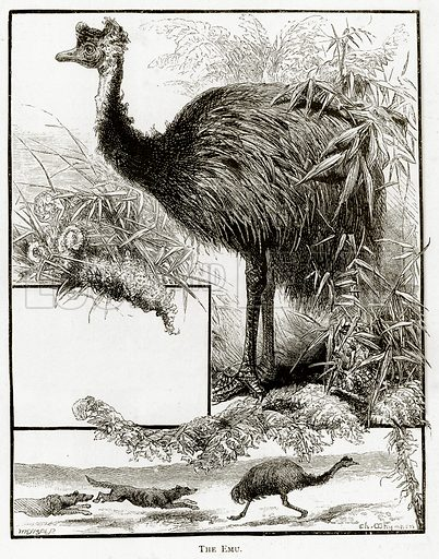 The Emu. Illustration from Australian Pictures by Howard Willoughby (Religious Tract Society, c 1886).