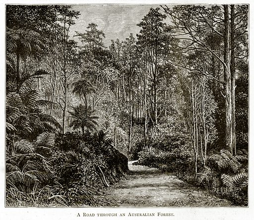 A Road through an Australian Forest. Illustration from Australian Pictures by Howard Willoughby (Religious Tract Society, c 1886).