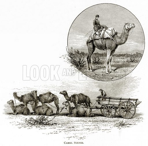 Camel Scenes. Illustration from Australian Pictures by Howard Willoughby (Religious Tract Society, c 1886).