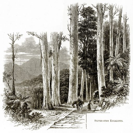 Silver-Stem Eucalypts. Illustration from Australian Pictures by Howard Willoughby (Religious Tract Society, c 1886).