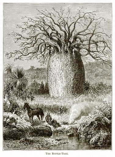 The Bottle-Tree. Illustration from Australian Pictures by Howard Willoughby (Religious Tract Society, c 1886).