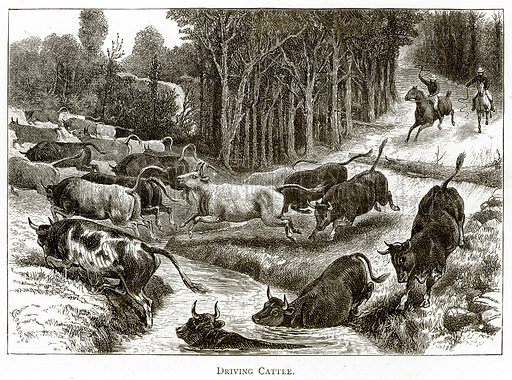Driving Cattle. Illustration from Australian Pictures by Howard Willoughby (Religious Tract Society, c 1886).