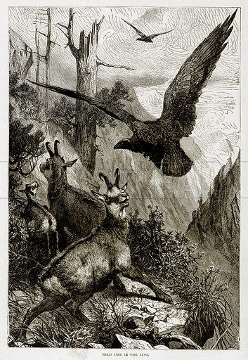 Wild Life on the Alps. Illustration from Swiss Pictures by Samuel Manning (Religious Tract Society, c 1870).