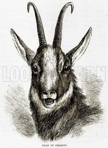 Head of Chamois. Illustration from Swiss Pictures by Samuel Manning (Religious Tract Society, c 1870).