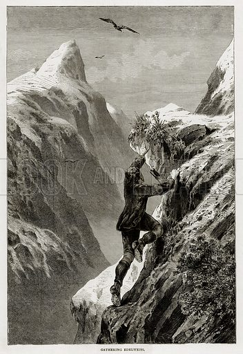 Gathering Edelweiss. Illustration from Swiss Pictures by Samuel Manning (Religious Tract Society, c 1870).