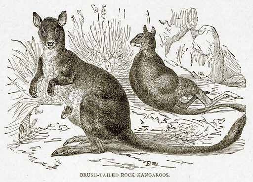 Brush-Tailed Rock Kangaroos. Illustration from With the World