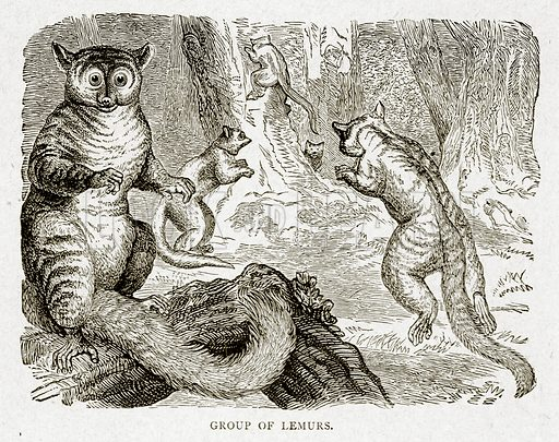 Group of Lemurs. Illustration from With the World