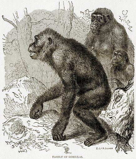 Family of Gorillas. Illustration from With the World