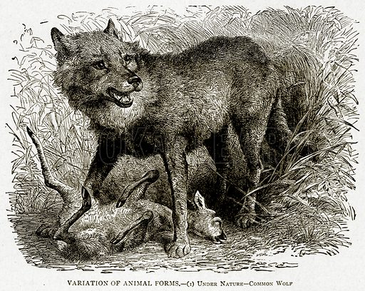 Variation of Animal Forms.--(1) Under Nature--Common Wolf. Illustration from With the World