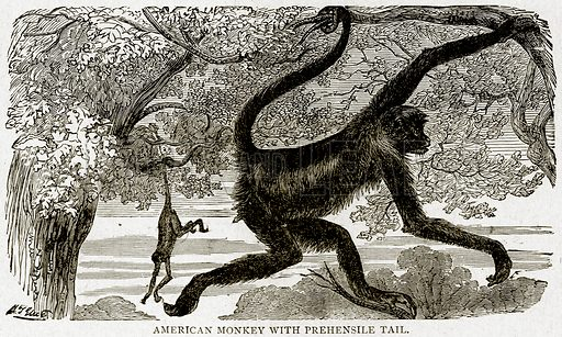 American Monkey with Prehensile Tail. Illustration from With the World