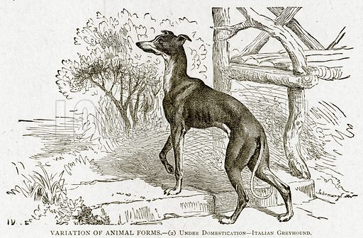 Variation of Animal Forms.--(2) Under Domestication--Italian Greyhound. Illustration from With the World