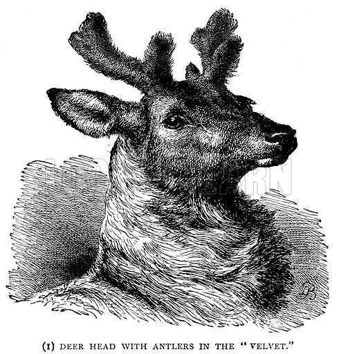"""(1) Deer Head with Antlers in the """"Velvet."""" Illustration from With the World"""