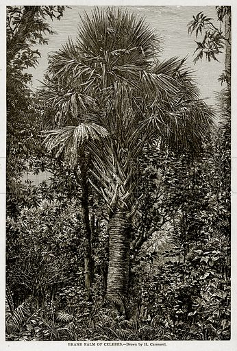 Grand Palm of Celebes. Illustration from With the World's People by John Clark Ridpath (Clark E Ridpath, 1912).