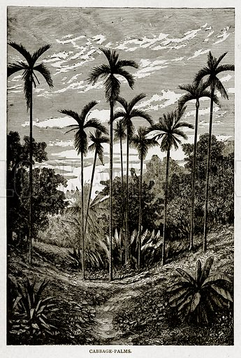 Cabbage-Palms. Illustration from With the World