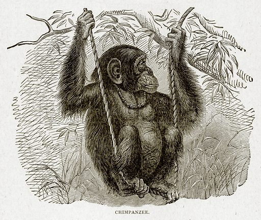 Chimpanzee. Illustration from With the World's People by John Clark Ridpath (Clark E Ridpath, 1912).