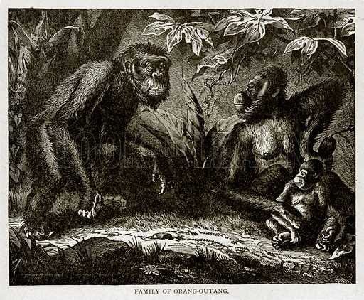 Family of Orang-Outang. Illustration from With the World's People by John Clark Ridpath (Clark E Ridpath, 1912).