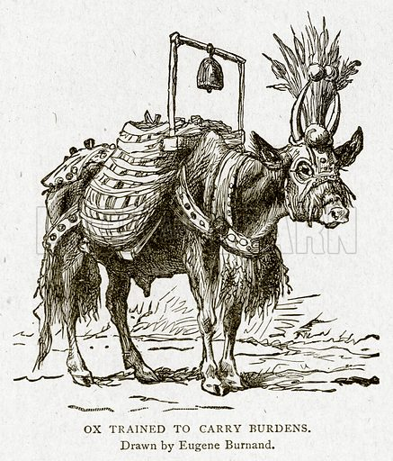 Ox Trained to Carry Burdens. Illustration from With the World