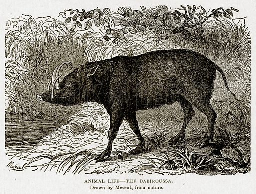 Animal Life--The Babiroussa. Illustration from With the World's People by John Clark Ridpath (Clark E Ridpath, 1912).