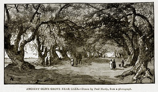 Ancient Olive Grove near Gaza. Illustration from With the World's People by John Clark Ridpath (Clark E Ridpath, 1912).