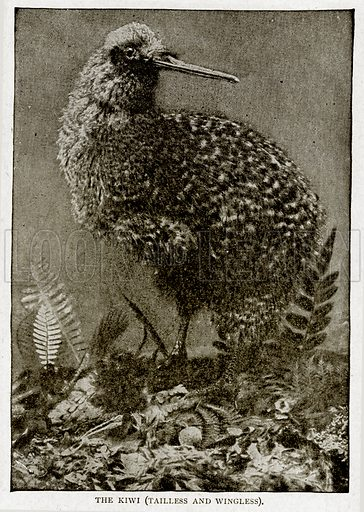 The Kiwi (Tailless and Wincless). Illustration from With the World's People by John Clark Ridpath (Clark E Ridpath, 1912).