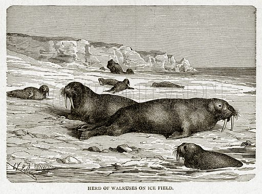 Herd of Walruses on Ice Field. Illustration from With the World's People by John Clark Ridpath (Clark E Ridpath, 1912).
