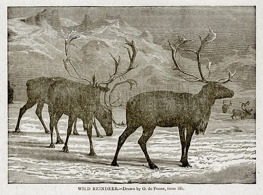 Wild Reindeer. Illustration from With the World's People by John Clark Ridpath (Clark E Ridpath, 1912).