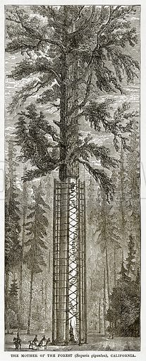 The Mother of the Forest (Sequoia Gigantea), California. Illustration from The Countries of the World by Robert Brown (Cassell, c 1890).