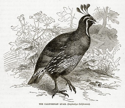 The Californian Quail (Lophortyx Californica). Illustration from The Countries of the World by Robert Brown (Cassell, c 1890).