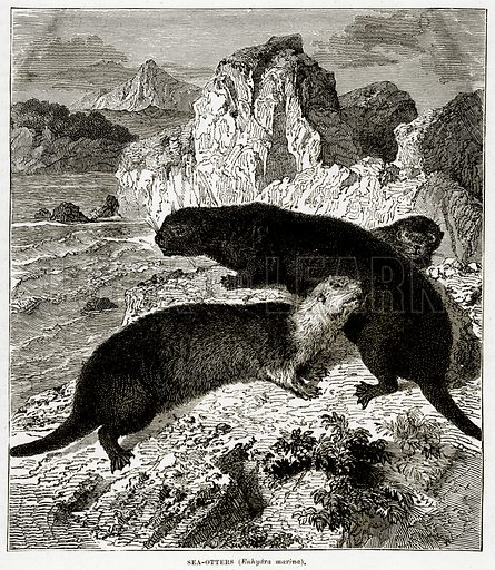 Sea-Otters (Enhydra Marina). Illustration from The Countries of the World by Robert Brown (Cassell, c 1890).