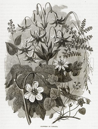 Flowers of Canada. Illustration from The Countries of the World by Robert Brown (Cassell, c 1890).