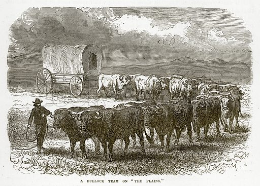 "A Bullock Team on ""The Plains."" Illustration from The Countries of the World by Robert Brown (Cassell, c 1890)."