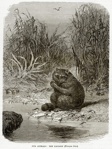 Fur Animals: The Raccoon (Procyon Lotor). Illustration from The Countries of the World by Robert Brown (Cassell, c 1890).