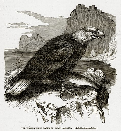 The White-Headed Eagle of North America. (Haliaetus Leucocephalus.) Illustration from The Countries of the World by Robert Brown (Cassell, c 1890).