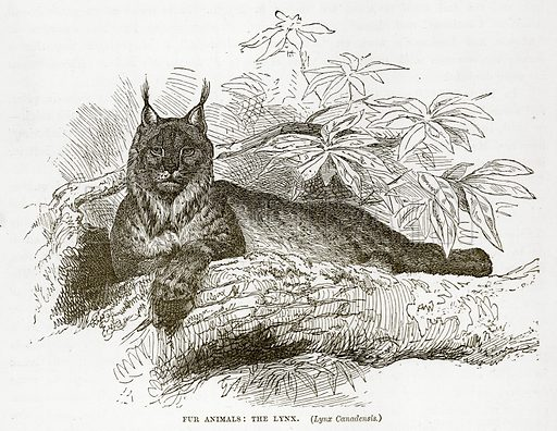Fur Animals: The Lynx. (Lynx Canadensis.) Illustration from The Countries of the World by Robert Brown (Cassell, c 1890).