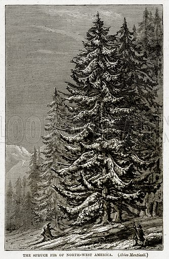 The Spruce Fir of North-West America. (Abies Menziesii.) Illustration from The Countries of the World by Robert Brown (Cassell, c 1890).