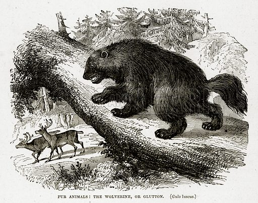 Fur Animals: The Wolverine, or Glutton. Illustration from The Countries of the World by Robert Brown (Cassell, c 1890).