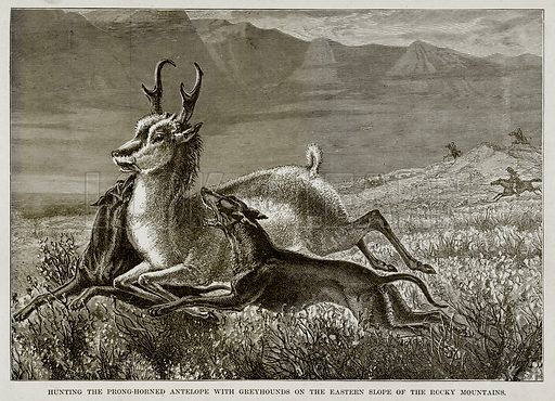 Hunting the Prong-Horned Antelope with Greyhounds on the Eastern Slope of the Rocky Mountains. Illustration from The Countries of the World by Robert Brown (Cassell, c 1890).