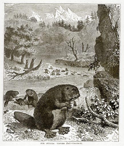 Fur Animals: Beavers (Castor Canadensis). Illustration from The Countries of the World by Robert Brown (Cassell, c 1890).