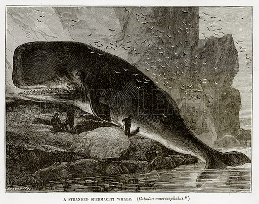 A Stranded Spermaceti Whale. (Catodon Macrocephalus.) Illustration from The Countries of the World by Robert Brown (Cassell, c 1890).