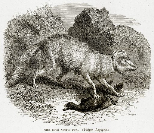 The Blue Arctic Fox. (Vulpes Lagopus.) Illustration from The Countries of the World by Robert Brown (Cassell, c 1890).