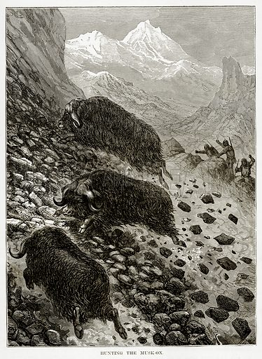 Hunting the Musk-Ox. Illustration from The Countries of the World by Robert Brown (Cassell, c 1890).